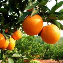 重庆脐橙纽荷尔新鲜水果甜橙子5斤 箱