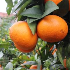 云阳沃柑橘子超甜5斤 箱
