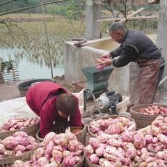 爱心购农家正宗天然零添加红薯粉番薯地瓜粉红苕粉淀粉勾芡粉500g包邮 500g