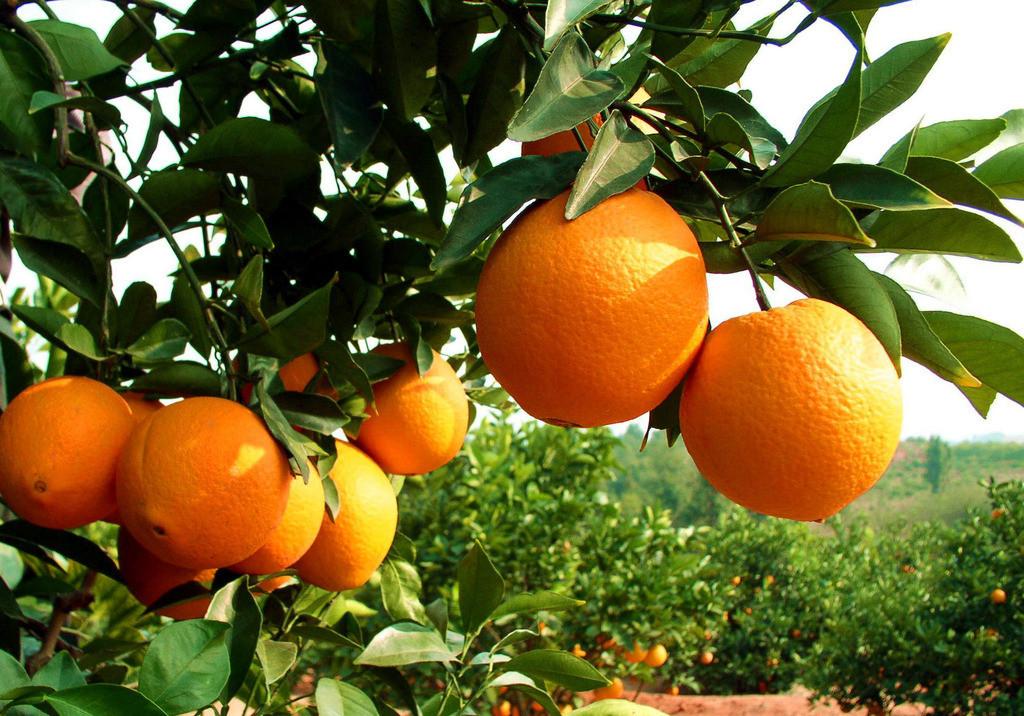 龙洞优质脐橙4.5元/斤       10斤/箱包邮/爱心购 箱