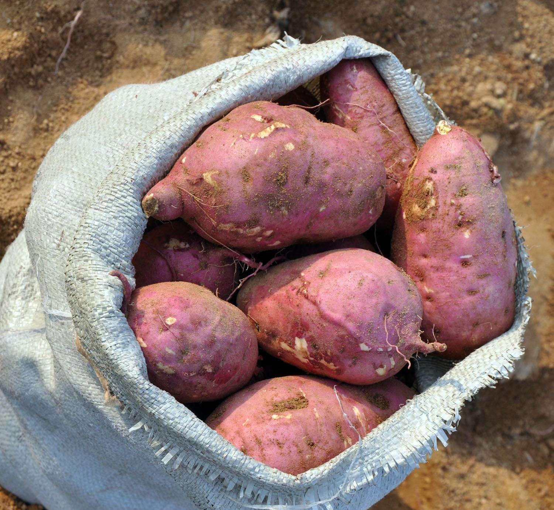 爱心购路阳镇贫困户当季新鲜红薯  1.5元/斤  线上拍单  线下提货